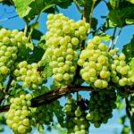 Producción de uvas y frutos de pepita podrían verse afectados por condiciones meteorológicas