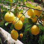 Primeros exportaciones de limones chilenos enviadas a Estados Unidos y Asia